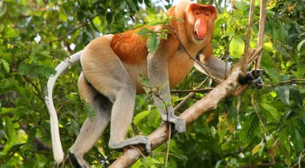 Macaco-narigudo entre os estranhos animais que voce nao sabia que existiam