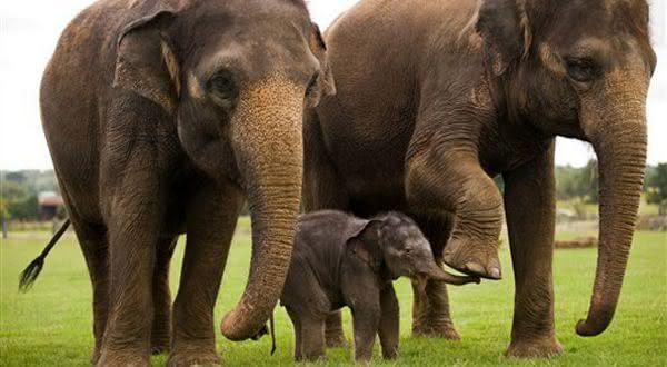 elefante asiatico entre os animais com os periodos de gestacao mais longos