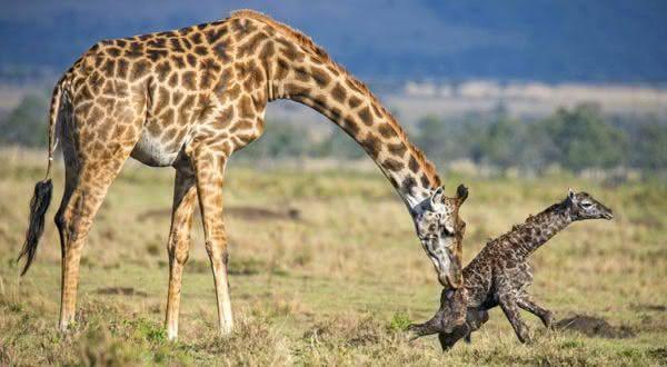 girafas entre os animais com os periodos de gestacao mais longos