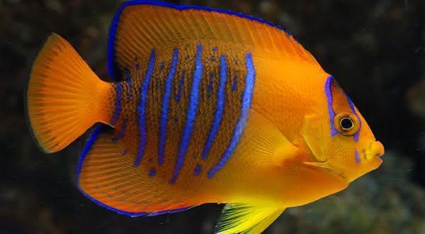 clarion entre os peixes mais caros do mundo