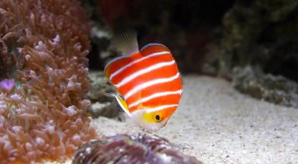 peppermint entre os peixes mais caros do mundo