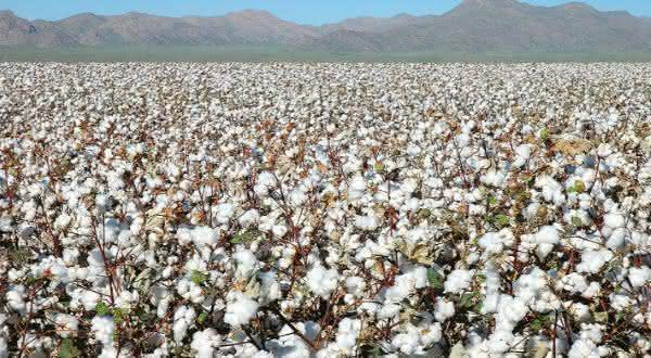 india entre os maiores paises produtores de algodao do mundo