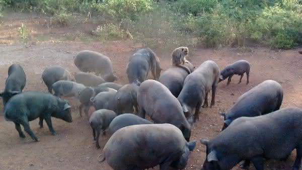 porcos entre as especies que dominariam se os seres humanos morressem