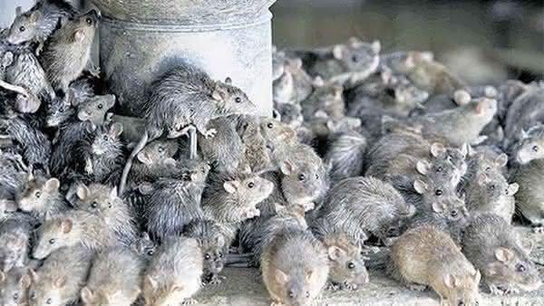ratos entre as especies que dominariam se os seres humanos morressem