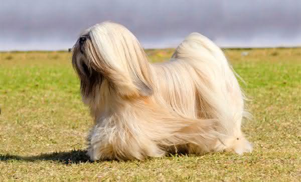 Lhasa Apso entre as raças de cães com maior longevidade do mundo