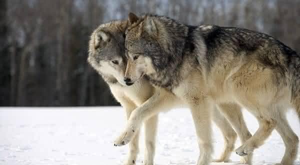 Lobo entre os animais que possuem um companheiro para a vida toda