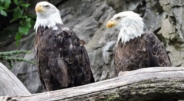 aguia-Careca entre os animais que possuem um companheiro para a vida toda