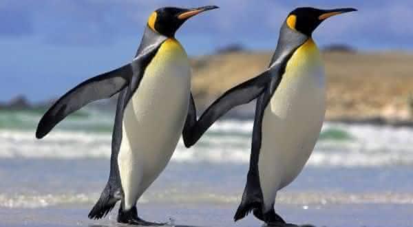 pinguins entre os animais que possuem um companheiro para a vida toda
