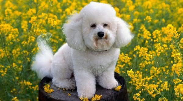 poodle toy entre as raças de cães com maior longevidade do mundo