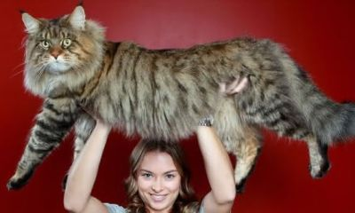 Maine Coon entre as maiores racas de gatos do mundo
