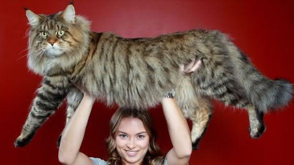 Maine Coon entre as maiores racas de gatos do mundo