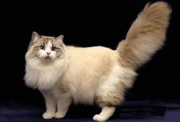 Ragamuffin entre as maiores racas de gatos do mundo