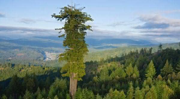 Sequoia Sempervirens entre as arvores mais altas do mundo