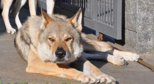 cao lobo entre as raças de cães com as mordidas mais fortes