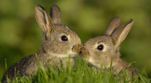 coelhos entre os animais com vida mais curta do mundo