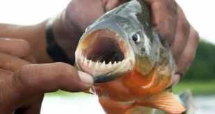 piranha entre as criaturas mais mortais da amazônia