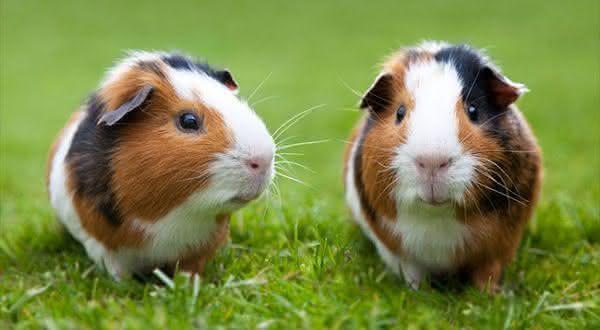porquinho da india entre os animais com vida mais curta do mundo