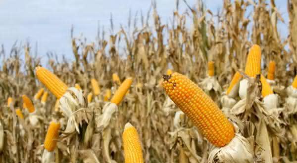 paraguai entre os maiores exportadores de milho do mundo