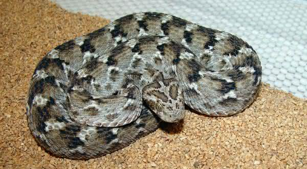 Carpet viper entre as cobras mais mortais do mundo