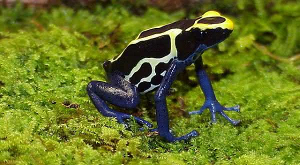 Dendrobates tinctorius entre as especies de sapos mais venenosos do mundo