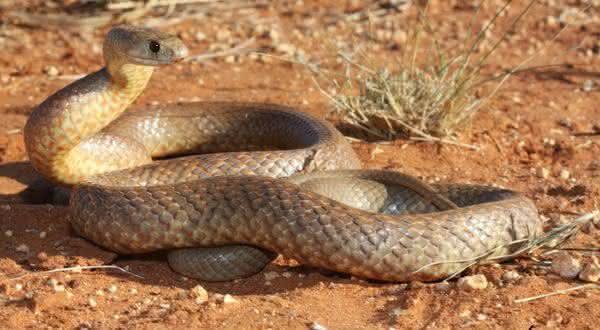 Gwardar entre as cobras mais mortais do mundo
