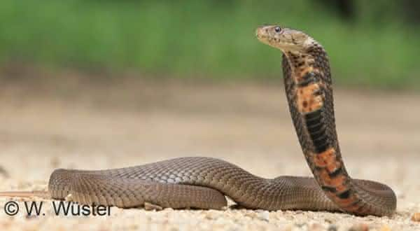 Mozambique spitting cobra entre as cobras mais mortais do mundo