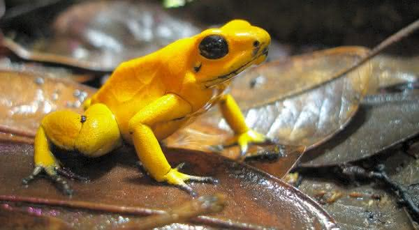 Phyllobates terribilis entre as espécies de sapos mais venenosos do mundo