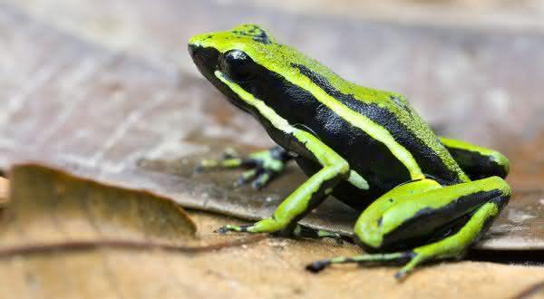 Striped Poisonous Frog entre as especies de sapos mais venenosos do mundo