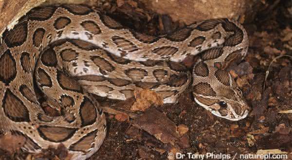 Vibora de Russell entre as cobras mais mortais do mundo