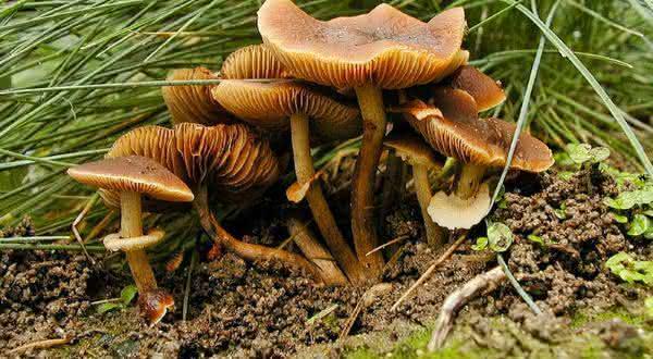 Conocybe Filaris entre os cogumelos mais venenosos do mundo