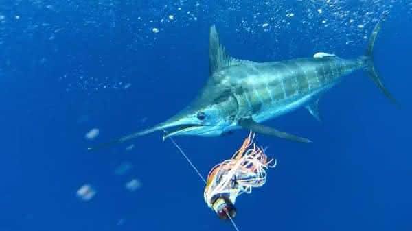 Marlim entre os peixes mais rapidos dos oceanos e mares