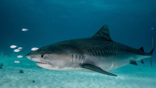 Tubarao-Tigre entre os peixes mais rapidos dos oceanos e mares