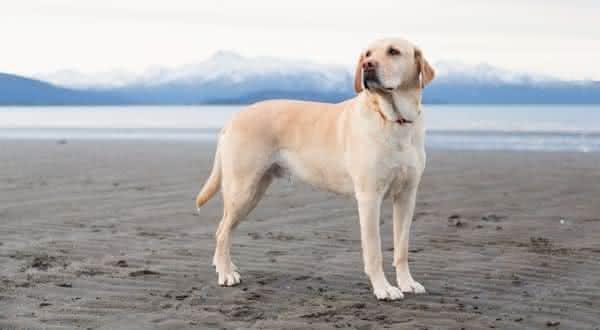 labrador entre as raças de cachorros mais populares do brasil