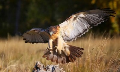 Buteo de Cauda Vermelha entre as aves mais perigosas do mundo