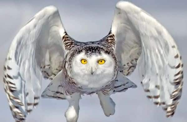 Coruja das Neves entre as aves mais perigosas do mundo