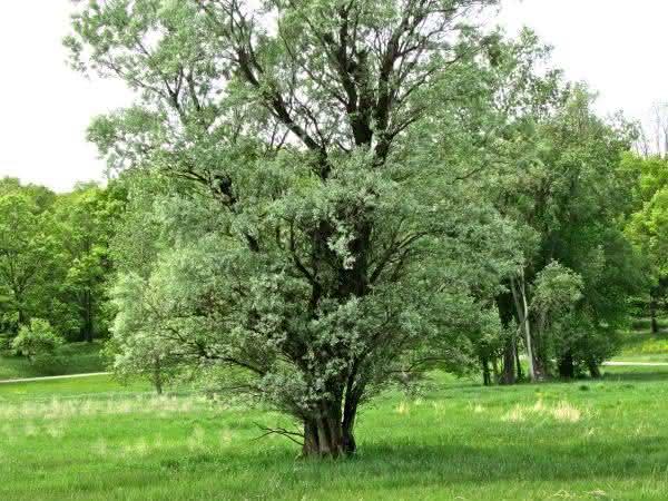 Cottonwood entre as plantas que crescem mais rapido no planeta