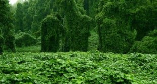 Kudzu entre as plantas que crescem mais rapido no planeta