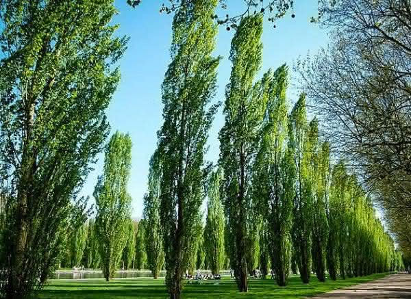 Populus entre as plantas que crescem mais rapido no planeta