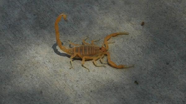 Arizona Bark Scorpion entre os escorpioes mais perigosos do mundo
