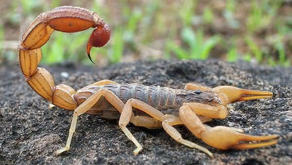 Indian Red Scorpion entre os escorpioes mais perigosos do mundo
