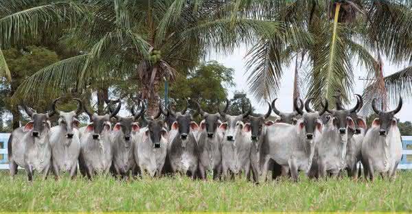 Selecao Guzera Agropecuaria entre as maiores fazendas do Brasil