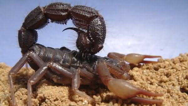 Spitting Thicktail Black Scorpion entre os escorpioes mais perigosos do mundo