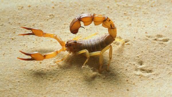 escorpiao do deserto entre os escorpioes mais perigosos do mundo