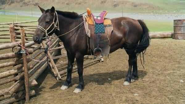 mongolia entre os paises com mais cavalos no mundo