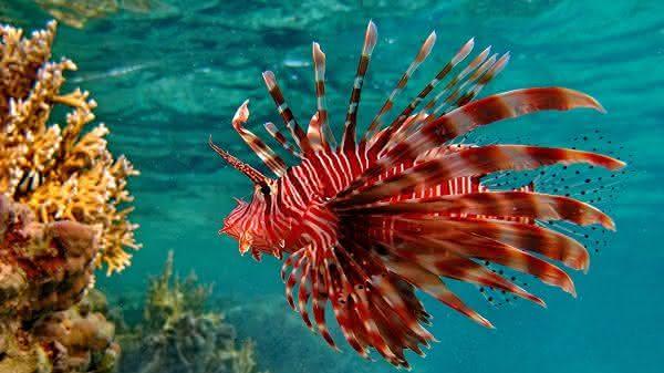 peixe-leao-vermelho entre os animais com superpoderes
