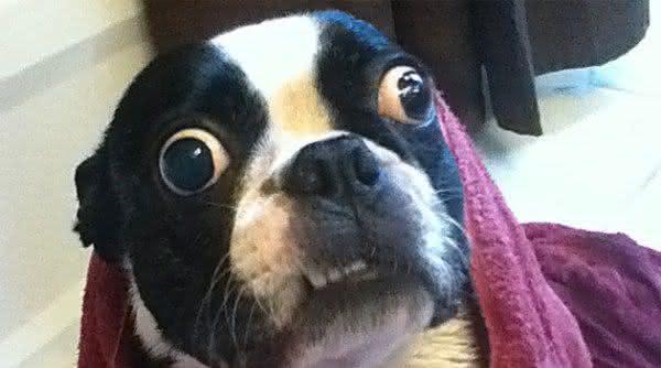 cao com maiores olhos entre os recordes feitos por animais
