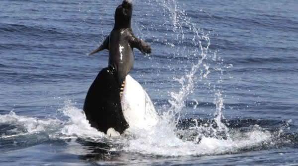 orca entre os assassinos mais brutalmente sociopatas da natureza