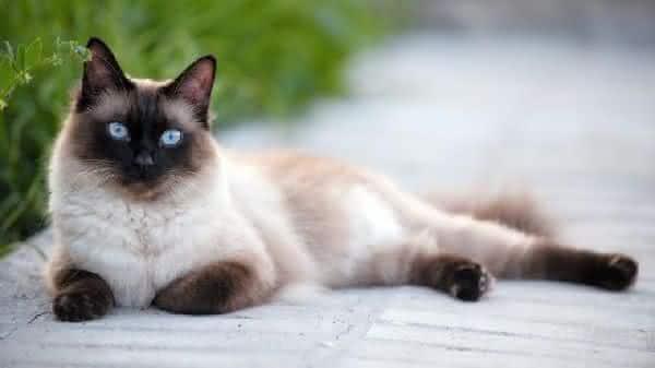 siames entre as racas de gatos mais bonitas do mundo