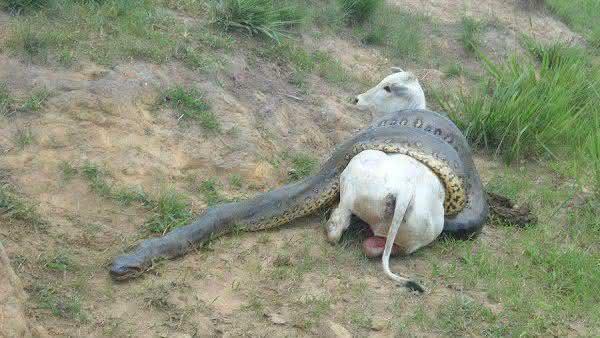 sucuri entre as maiores cobras do mundo