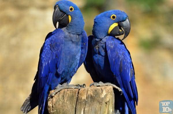 Arara azul entre os animais de estimacao mais caros do mundo